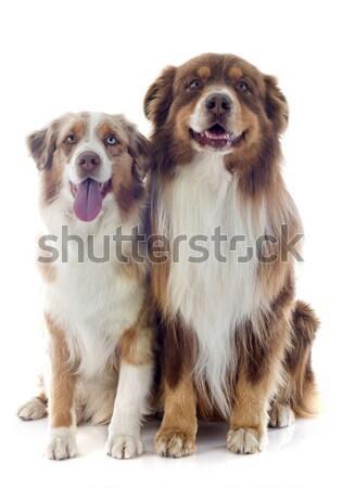 Сток-фото: собаки · женщины · студию · мужчины · мех · Cute