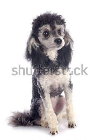 bicolor poodle  Stock photo © cynoclub