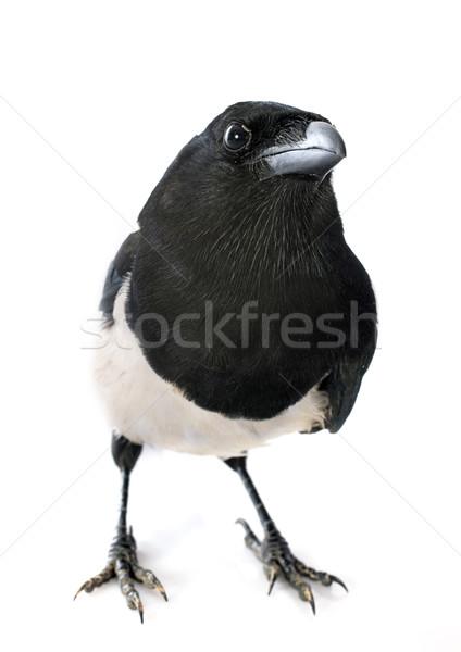 Eurasian Magpie Stock photo © cynoclub