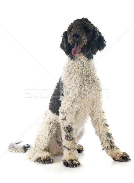 Portuguese Water Dog Stock photo © cynoclub