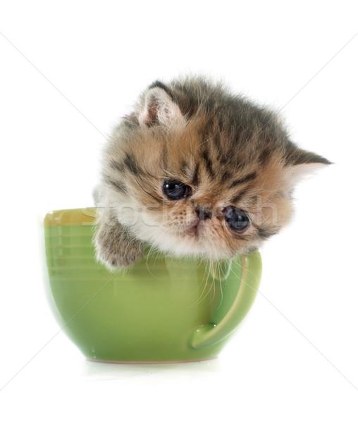 котенка экзотический короткошерстная чайная чашка белый кошки Сток-фото © cynoclub