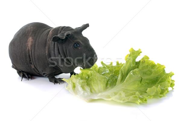 Sin pelo conejillo de indias blanco negro comer animales Foto stock © cynoclub