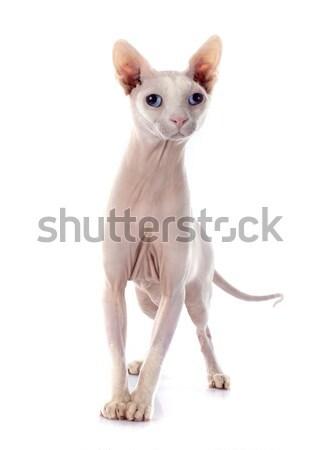 スフィンクス 毛のない 猫 白 動物 ストックフォト © cynoclub
