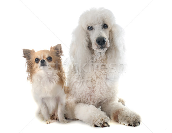 Norme caniche animaux animal fond blanc deux Photo stock © cynoclub