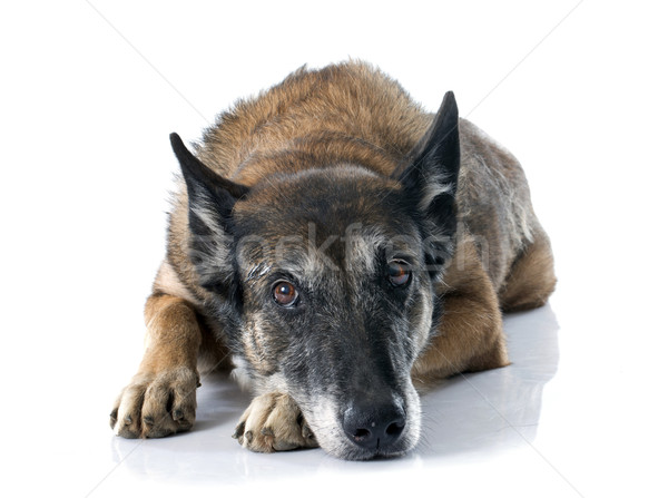 belgian shepherd dog Stock photo © cynoclub