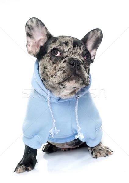 dressed puppy french bulldog Stock photo © cynoclub