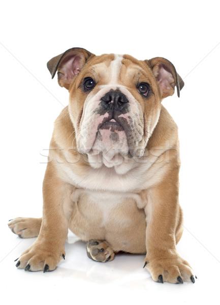 young english bulldog Stock photo © cynoclub