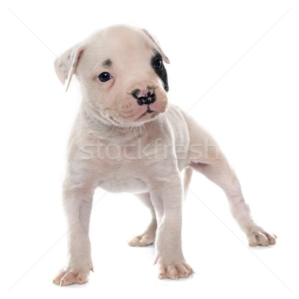 щенков Американский бульдог белый собака молодые ПЭТ Сток-фото © cynoclub