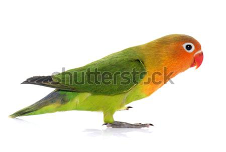 young fischeri lovebird Stock photo © cynoclub