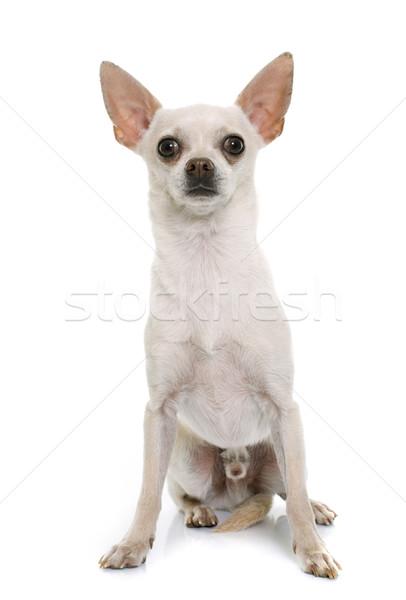 Kort haar hond witte dier mannelijke volwassen Stockfoto © cynoclub