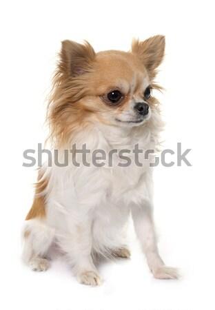 長髪 犬 動物 スタジオ 子犬 ペット ストックフォト © cynoclub