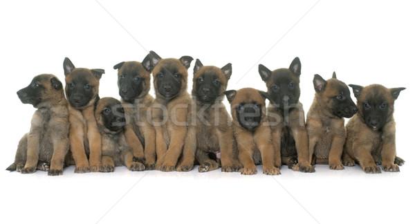 Cuccioli pastore belga cane gruppo cucciolo pet Foto d'archivio © cynoclub