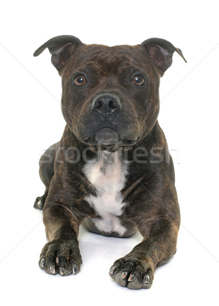 stafforshire bull terrier Stock photo © cynoclub