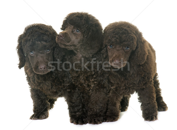puppies brown poodles Stock photo © cynoclub