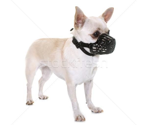 Kaganiec biały psa studio szczeniak ochrony Zdjęcia stock © cynoclub