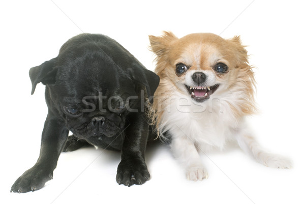 puppy black pug and chihuahua Stock photo © cynoclub