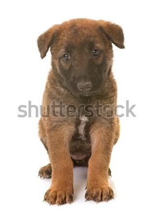 Kutyakölyök belga juhászkutya kutya állat Stock fotó © cynoclub