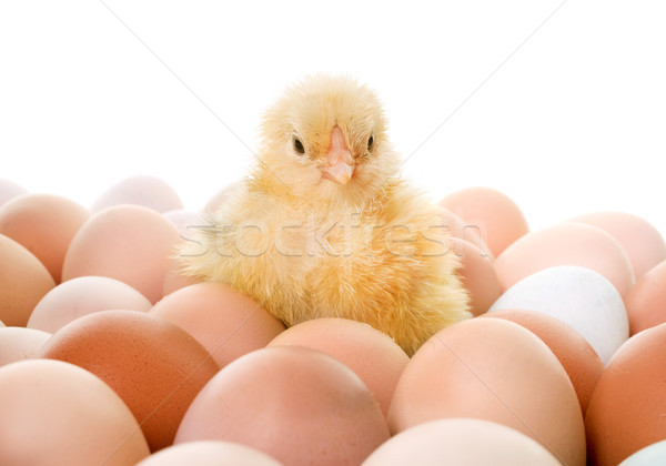 chick and eggs Stock photo © cynoclub