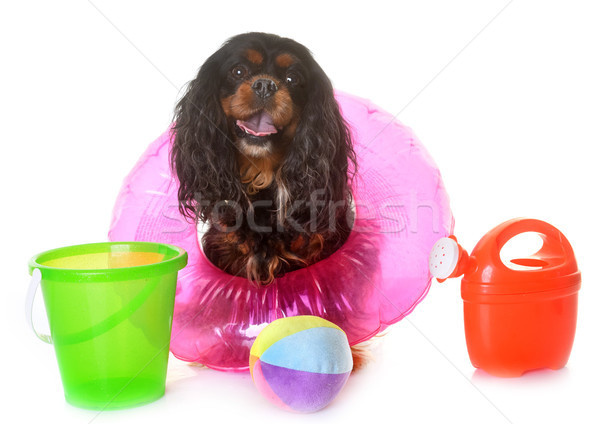 cavalier king charles in summer Stock photo © cynoclub