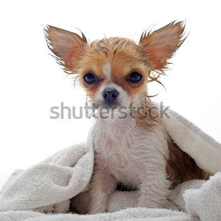 Zdjęcia stock: Kąpieli · portret · mokro · szczeniak · łazienka