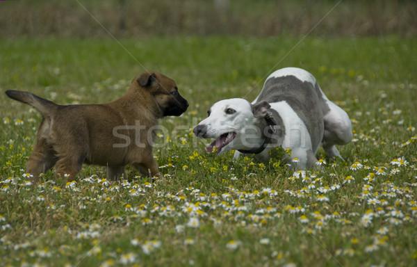 greyhound and puppy sheepdog Stock photo © cynoclub