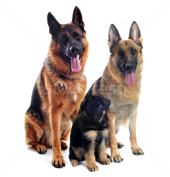 german shepherds and puppy Stock photo © cynoclub