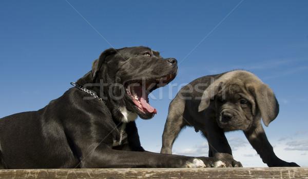 Italiano mastim mãe cachorro juntos Foto stock © cynoclub