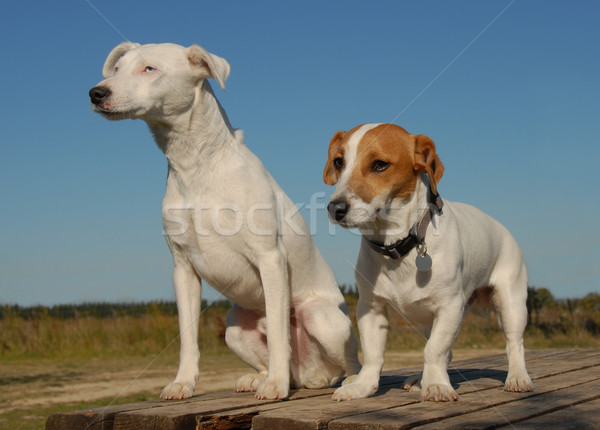 two jack russel terrier Stock photo © cynoclub