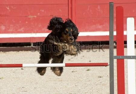 nizinny in agility Stock photo © cynoclub