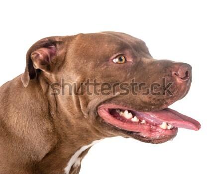 Labrador retriever blanche portrait tête studio Photo stock © cynoclub