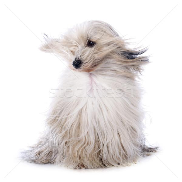 Terriyer beyaz rüzgâr hayvan hava evcil hayvan Stok fotoğraf © cynoclub