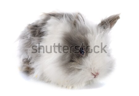 angora rabbit Stock photo © cynoclub