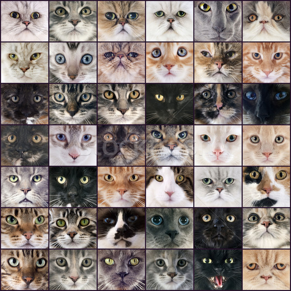 group of cats Stock photo © cynoclub