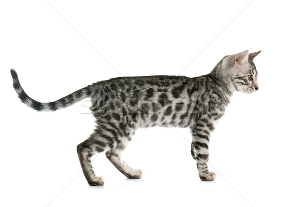 bengal kitten Stock photo © cynoclub
