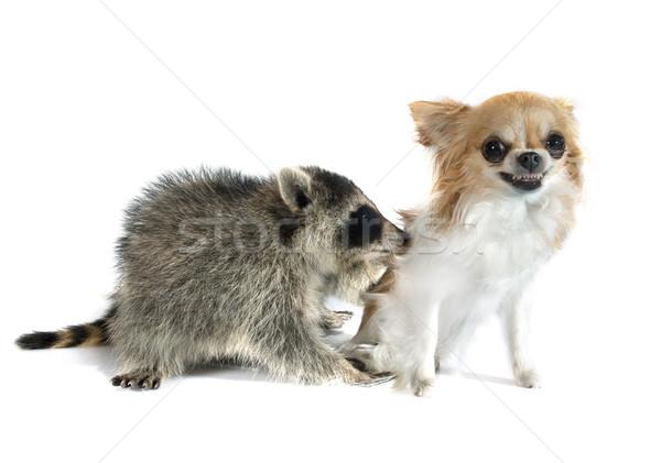 Jonge wasbeer baby natuur vrienden tanden Stockfoto © cynoclub