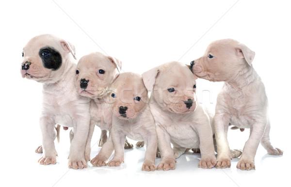 щенки Американский бульдог белый собака животного студию Сток-фото © cynoclub