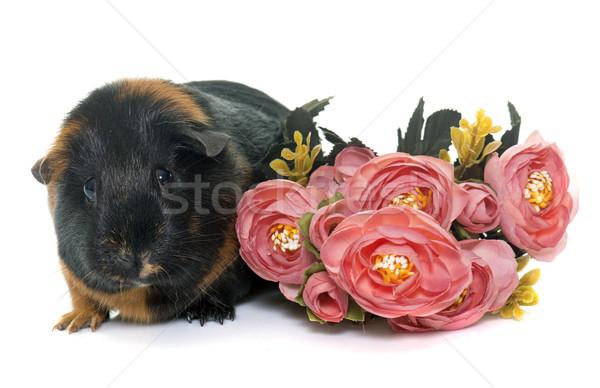 морская свинка студию белый цветок молодые животного Сток-фото © cynoclub