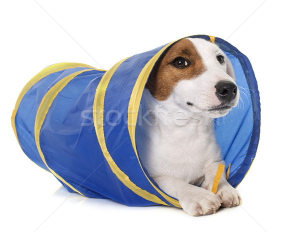 young jack russel terrier in tunnel Stock photo © cynoclub