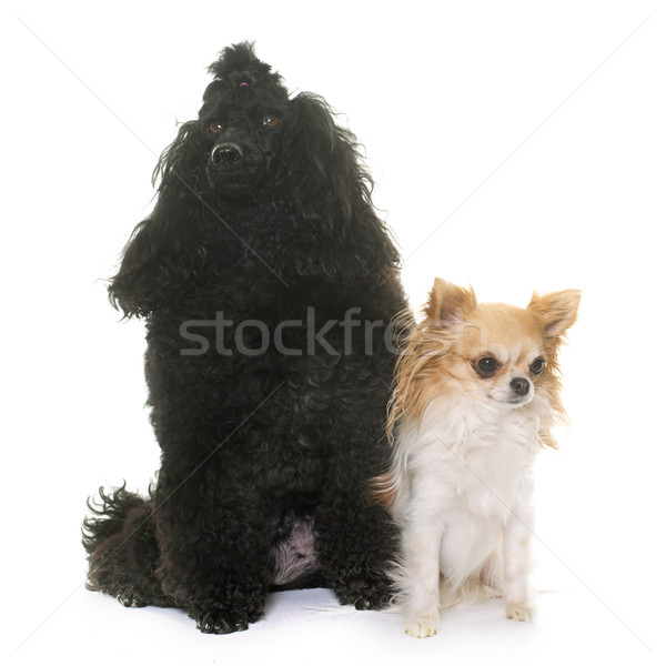 poodle and chihuahua Stock photo © cynoclub