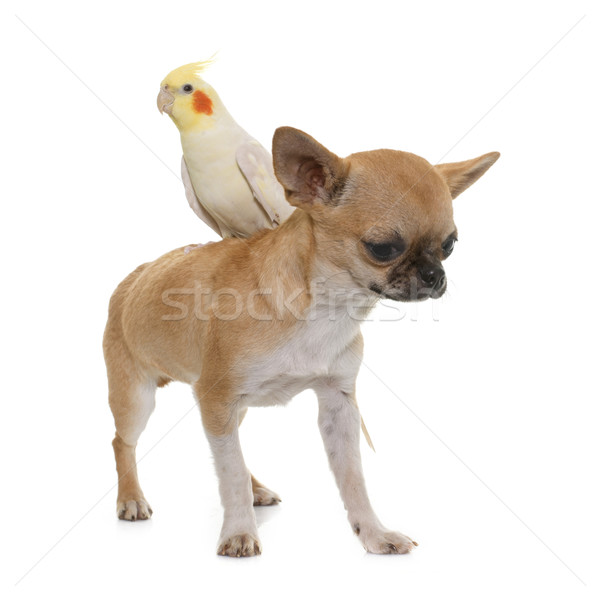 puppy chihuahua and cockatiel Stock photo © cynoclub