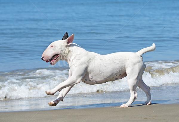 bull terrier on beach Stock photo © cynoclub