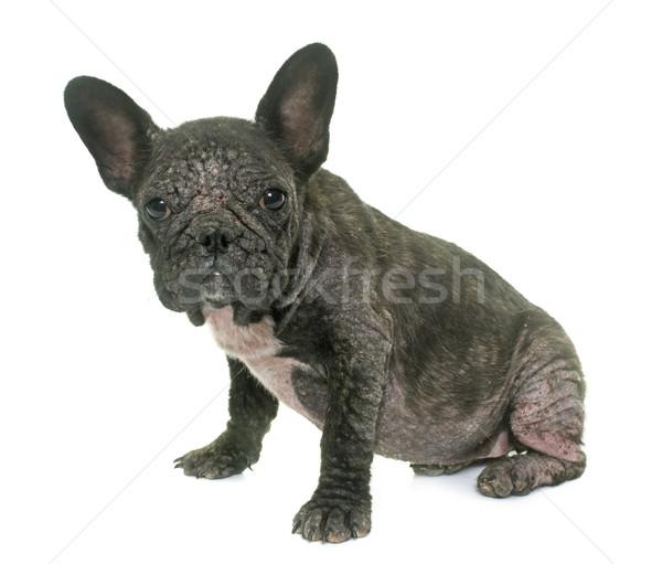 Kutya francia bulldog stressz stúdió beteg Stock fotó © cynoclub