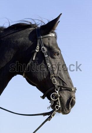 小さな ライディング 少女 若い女の子 黒 種馬 ストックフォト © cynoclub