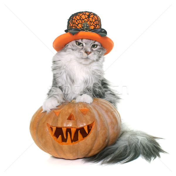 halloween pumpkin and cat Stock photo © cynoclub
