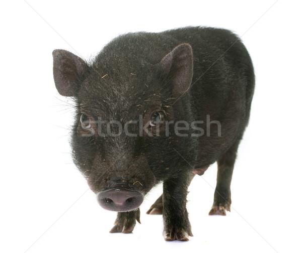 черный поросенок студию белый свинья животного Сток-фото © cynoclub