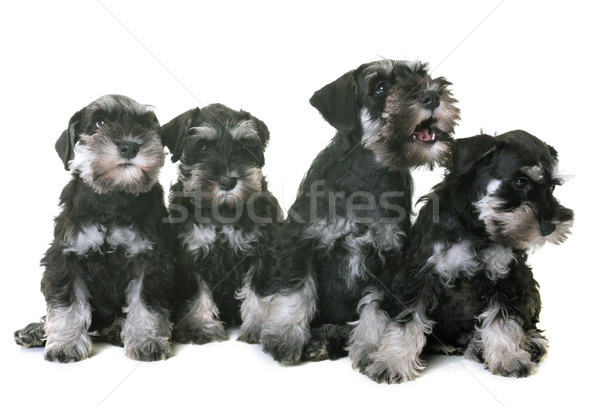 puppies miniature schnauzer Stock photo © cynoclub