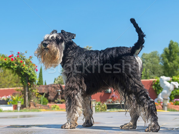 miniature schnauzer in summer Stock photo © cynoclub