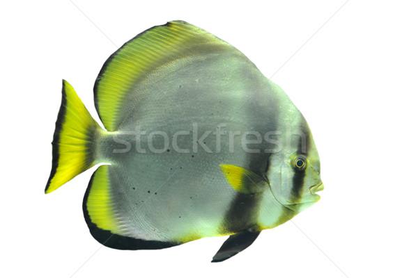 batfish Stock photo © cynoclub