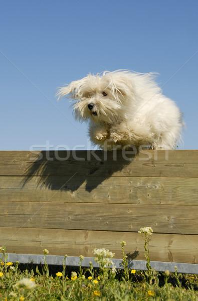 jumping maltese dog Stock photo © cynoclub