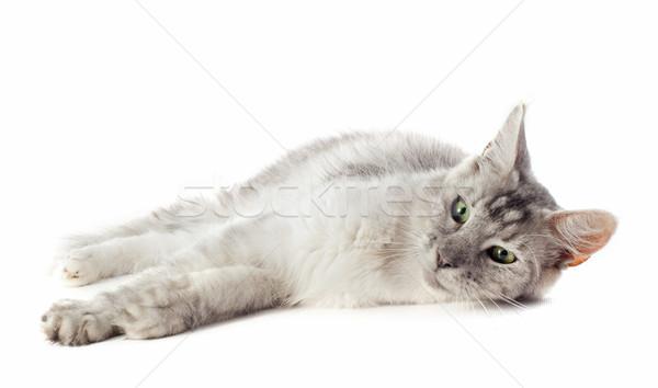 Maine kot portret biały zwierząt Zdjęcia stock © cynoclub